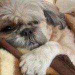 Shih Tzu health concerns