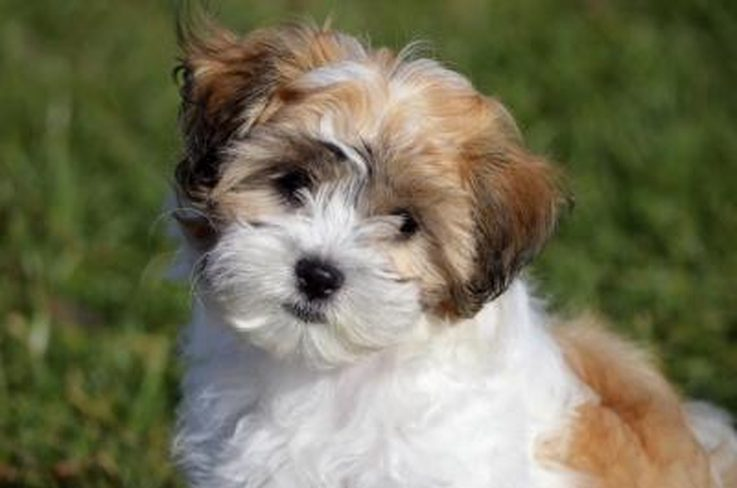 Shih Tzu health information