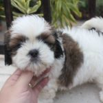 Shih Tzu princess type 2 months old