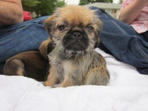 Shih Tzu Pug mix puppies