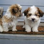 Shih Tzu puppies health problems
