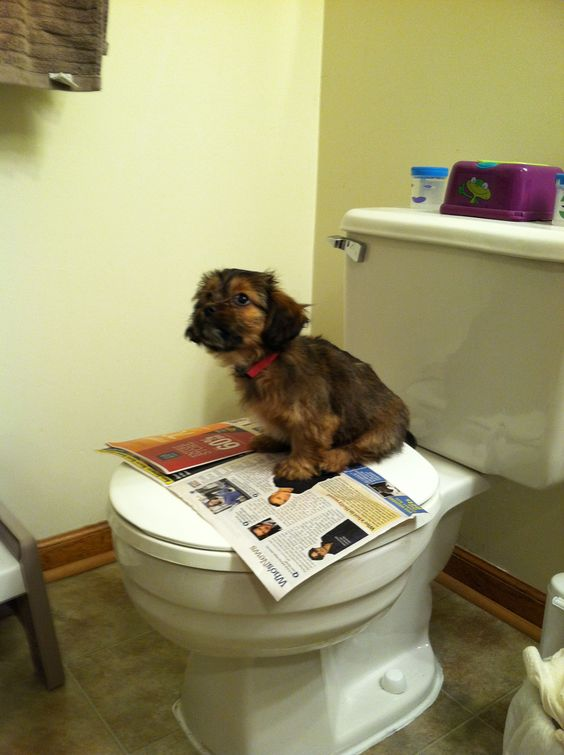 Shih Tzu toilet training