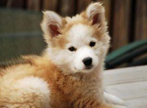 Siberian Husky and Golden Retriever mix