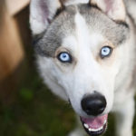 Siberian Husky facts and info