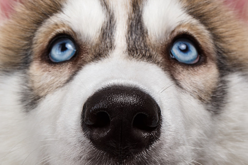 Siberian Husky facts and tips