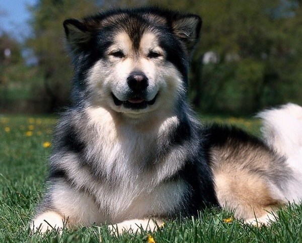 Siberian Husky hip dysplasia symptoms