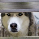 Siberian Husky hip dysplasia treatment