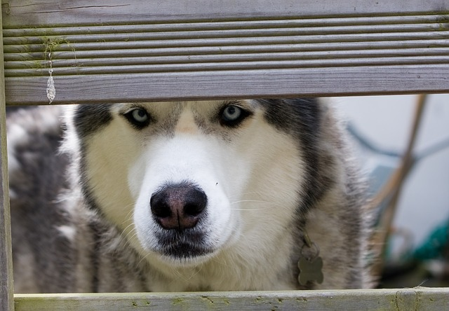 Siberian Husky hip dysplasia treatment