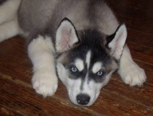 Signs of hip dysplasia in Husky puppies