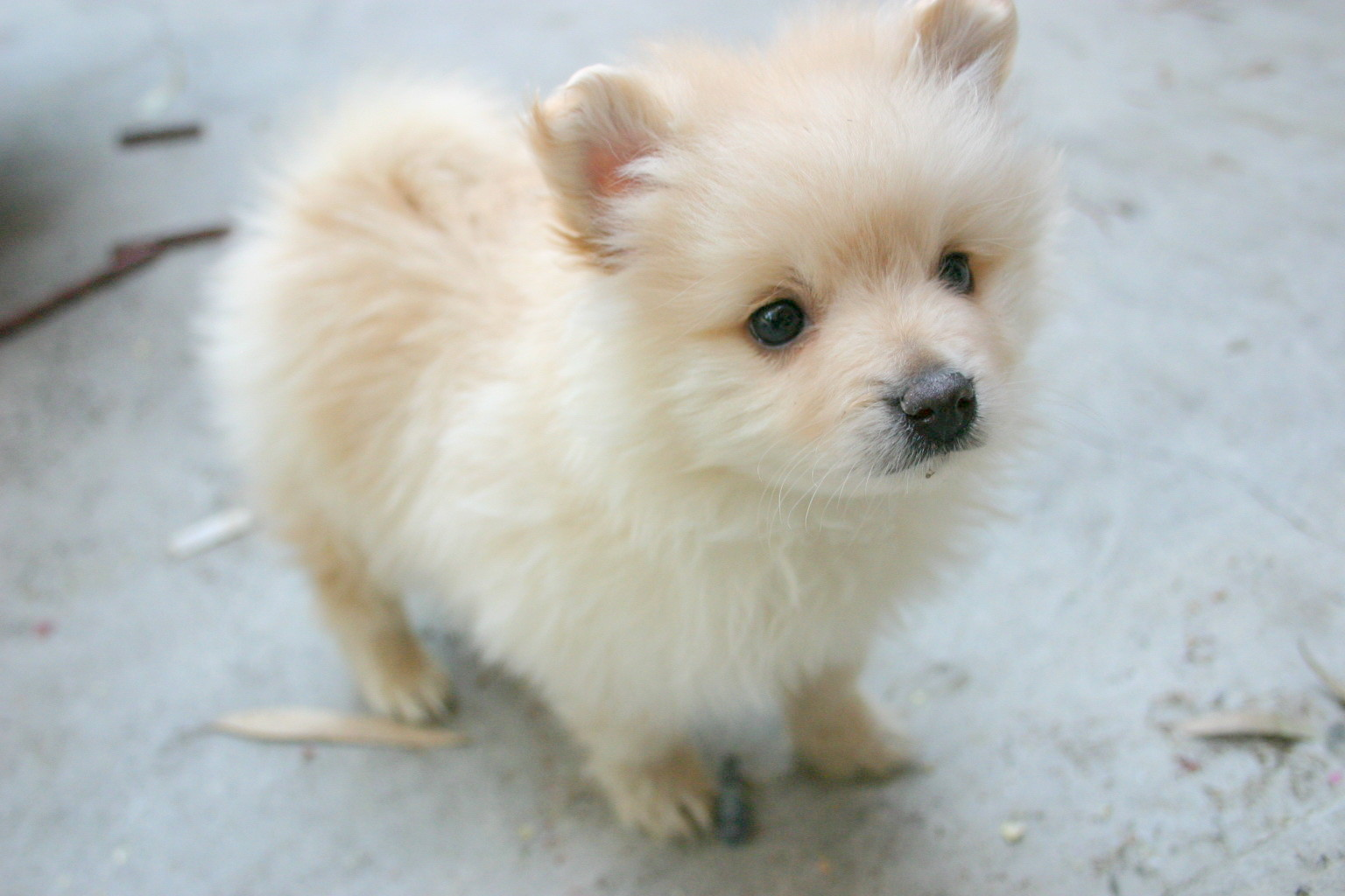 Teacup Pomeranian Husky for sale