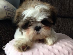 what does a shih tzu dog look like 1001doggy com all about dog breeds 2032