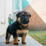 What is the best puppy food for German Shepherds