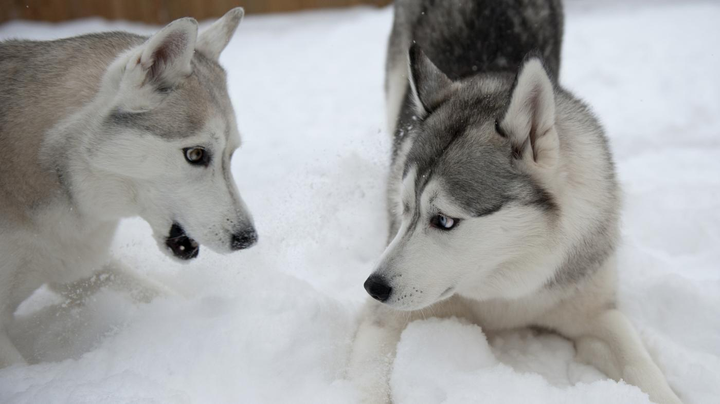 What is the difference between a malamute and a Husky