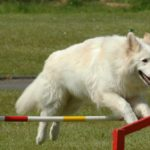 white German Shepherd facts