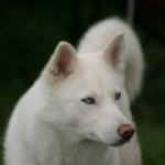 White Husky wolf mix