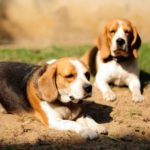 100 facts about Beagles