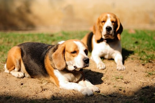 100 facts about beagles. Black Bedroom Furniture Sets. Home Design Ideas