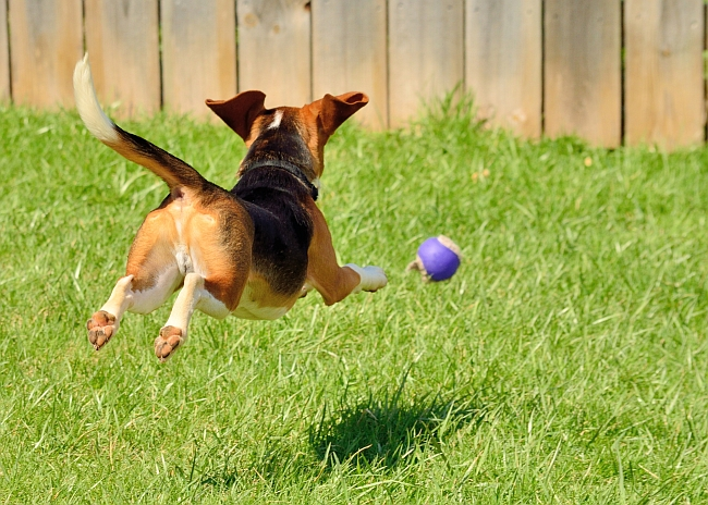 15 Facts about Beagles