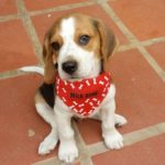 3 month Beagle size