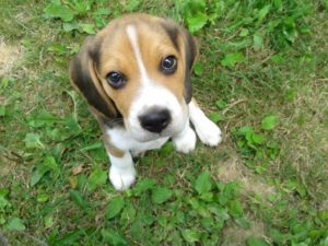 3 month old Beagle puppy