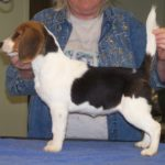 4 month old Beagle for sale