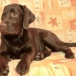 4 month old chocolate labrador retriever