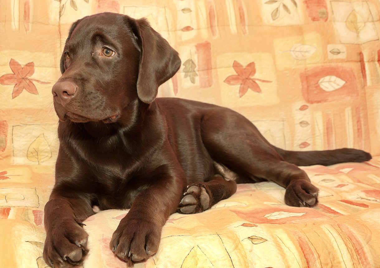 4 month old chocolate labrador retriever