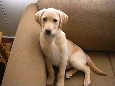 4 month old labrador retriever weight