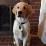 5 month old labrador retriever weight