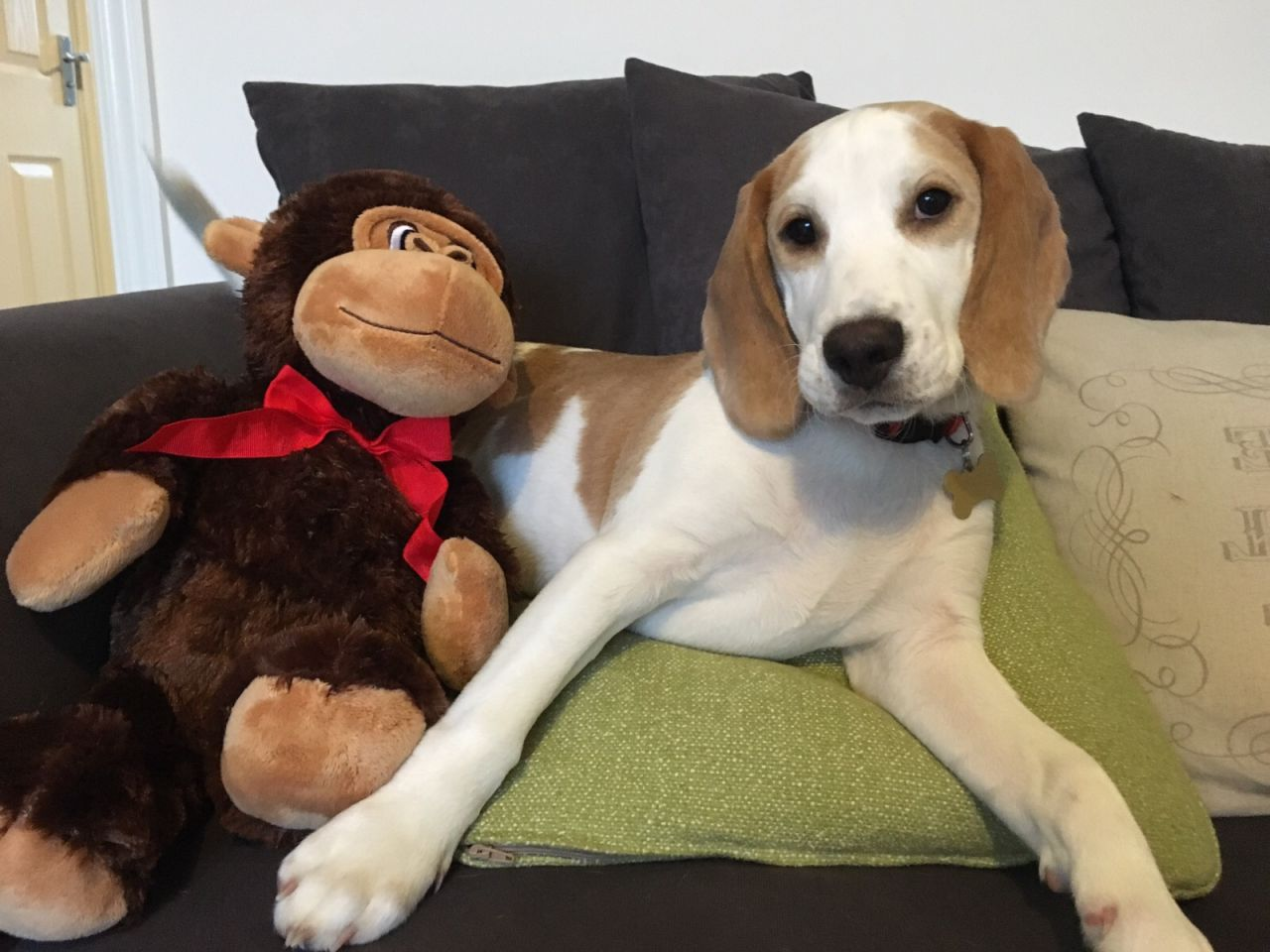 6 month Beagle weight