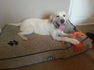 6 month old labrador retriever