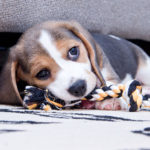 8 week old Beagle biting
