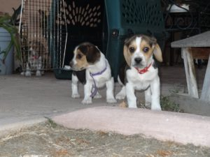 8 week old Beagle puppies