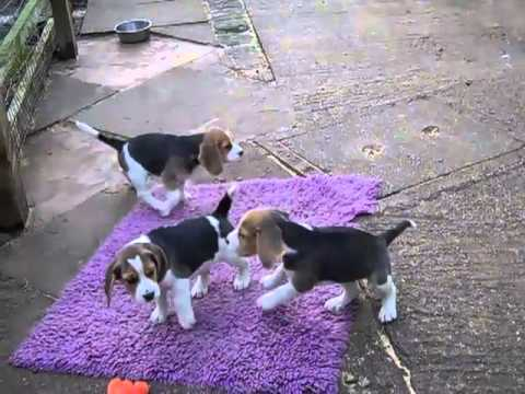 8 week old Beagle puppy for sale
