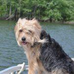 A Beagle and a poodle mix