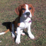 A boxer Beagle mix
