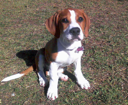 A boxer Beagle mix