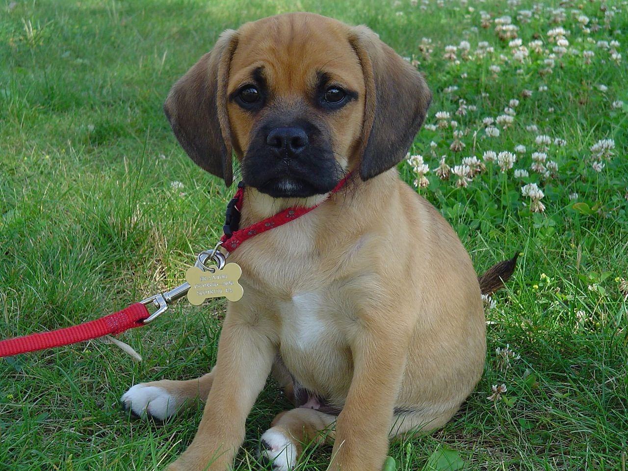A Pug mixed with a Beagle