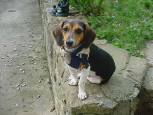 About dachshund Beagle mix