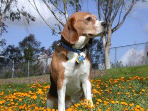 Allevamento Beagle dogs life