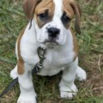 American bulldog Beagle mix