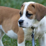 American bulldog Beagle mix size