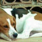 Are Beagles prone to skin allergies