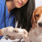 Are Beagles susceptible to cancer