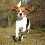 Average life expectancy Beagle dog