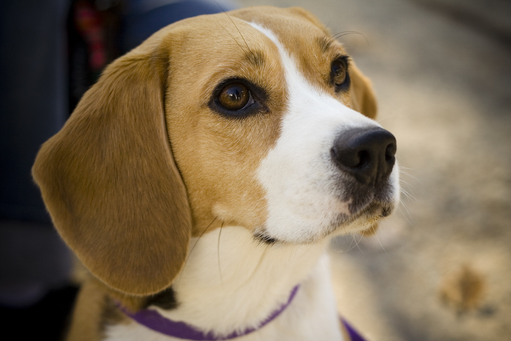 Average life expectancy of a female Beagle