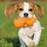 Average lifespan of a miniature Beagle