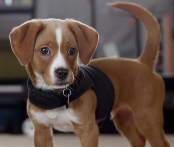 Average size of chihuahua Beagle mix