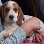Average weight 4 month old Beagle puppy