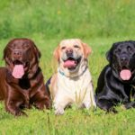 Average weight of a full grown labrador retriever
